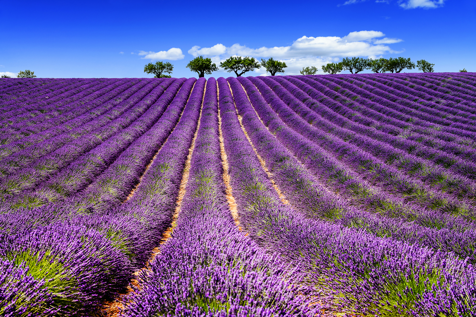 Charmant A Wonderful Celebration In Umbria To Mark The Seasonal Blossoming Of  Fragrant Lavender On The Fields Of Lavandeto Di Assisi, A Garden And  Breeding Ground ...